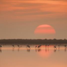 Flamingos au coucher du soleil dans le delta de l'Èbre