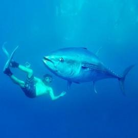 Natation entre les thons